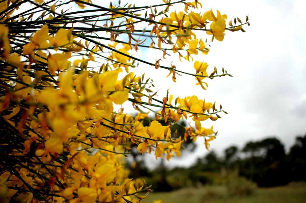 flores amarillas en Mar del Plata